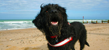 labradoodle on beach