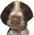 German Wirehaired Pointer boy Silas