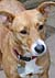 Holly Basenji cross